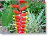 plante guadeloupe
